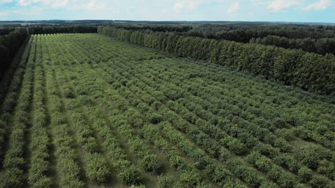 Aerial bird view drone flying fowards low over fruit orchard trees growing apples and pears healthy food production done on land trees perfectly straight placed in lines green leafs showing 4k