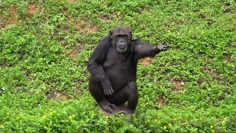 Mature chimpanzee perches enjoy on grass in zoo