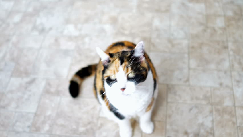 Hungry calico cat standing up on hind legs asking for treat, paws up, adorable cute big eyes for food in kitchen floor by cabinets, intelligent doing meerkat trick