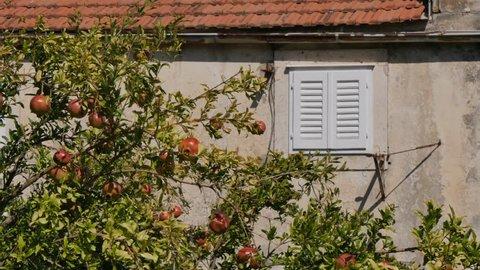 Pomegranate tree, Korcula Old Town, Korcula, Dalmatia, Croatia, Europe