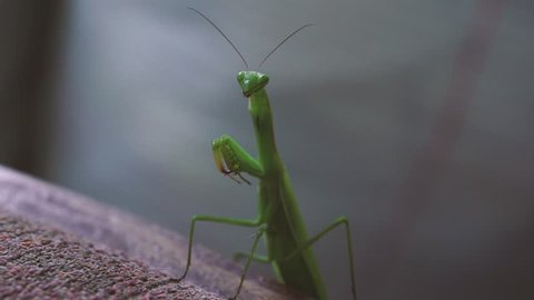 Macro photography of Female European Mantis or Praying Mantis (Mantis religiosa)