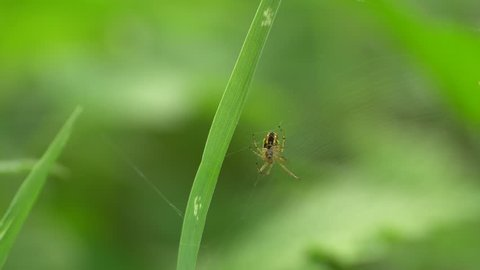 Close-up of leafy green spider Neriene radiata sitting in a spider web in the summer among the grass in the foothills of the Caucasus
