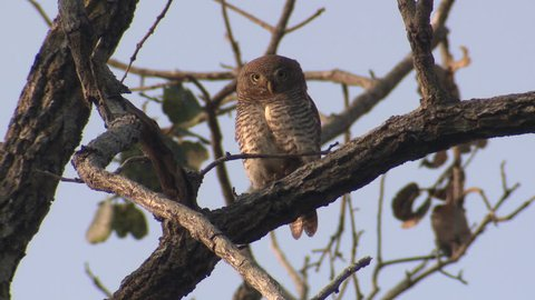 Jungle Owlet Adult Lone Sitting Resting in Spring Branch in India