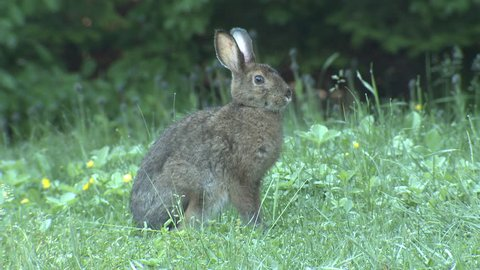 Snowshoe Hare Adult Lone in Summer in Canada