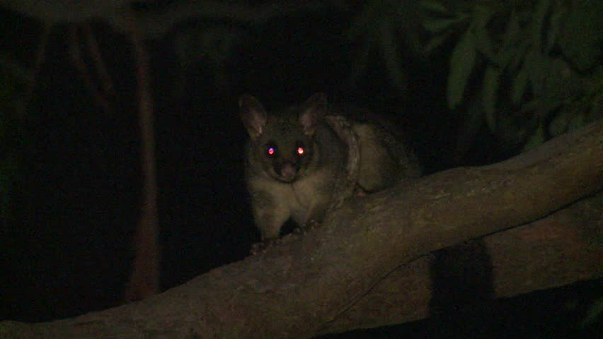 Common Brushtail Possum Adult Lone Looking Around Eyeshine Darkness On Branch in Australia