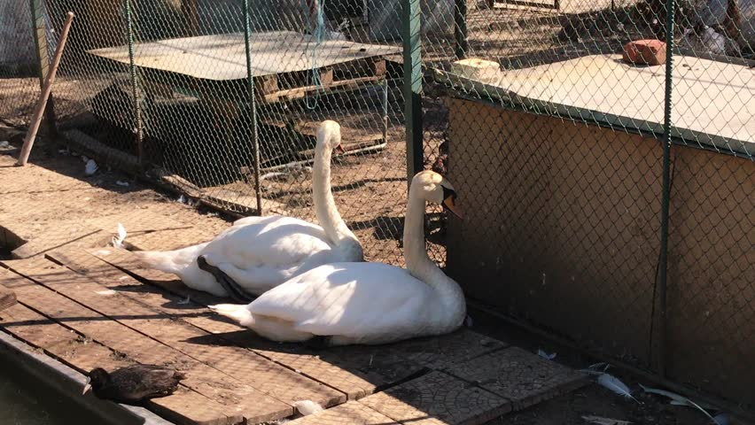Two white swans resting in the farmyard. One of them cleans his feather, 4k. Taken from the fence.