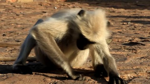 Langur eats ants crawling on the ground. Monkey bitten by an ant. Animals-myrmecophages. India