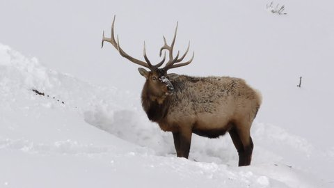 Elk Bull Male Adult Lone Foraging in Winter Trophy Antlers Majestic in Wyoming