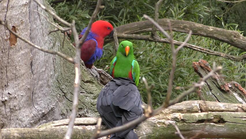 Eclectus Parrot Male Female Adult Pair Parrots Perched Resting