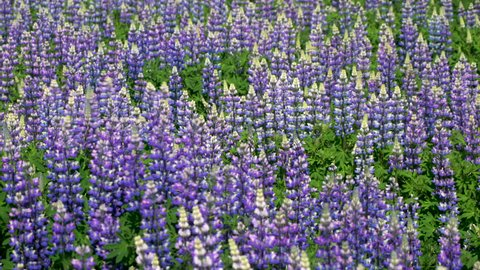 Field of Blue Alaskan lupins, Southern Iceland