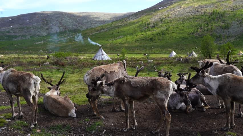 Reindeer Village on an summer morning. in Tsaatan village, Khuvsgol, Mongolia.