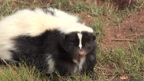 Striped Skunk Adult Lone Smelling in Summer Scent Nose Sniffing