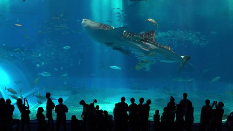 9af2ea799fc3 Okinawa Aquarium 4K with Beautiful Whale sharks and various kinds of fish  swimming in the main