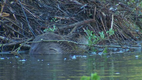 Beaver Adult Lone Eating in Spring Leaves Twigs Eating Chewing in South Dakota