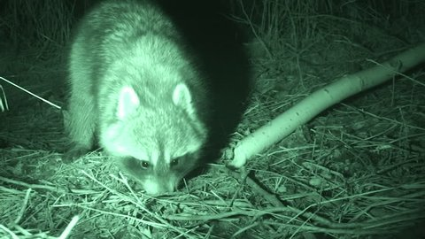 Raccoon Adult Lone Foraging in Fall in South Dakota