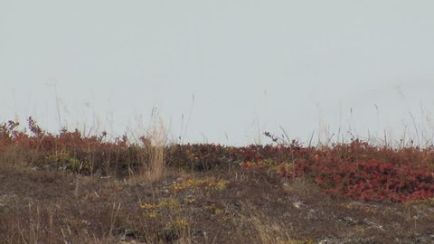 Arctic Ground Squirrel Lone Alarmed Nervous Wary in Fall Alert Standing Skyline in Alaska