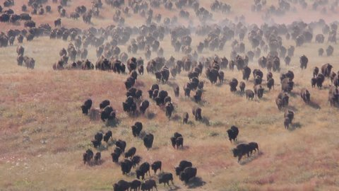Bison Bull Cow Adult Young Herd Running in Fall Stampede Charge Stampeding in South Dakota