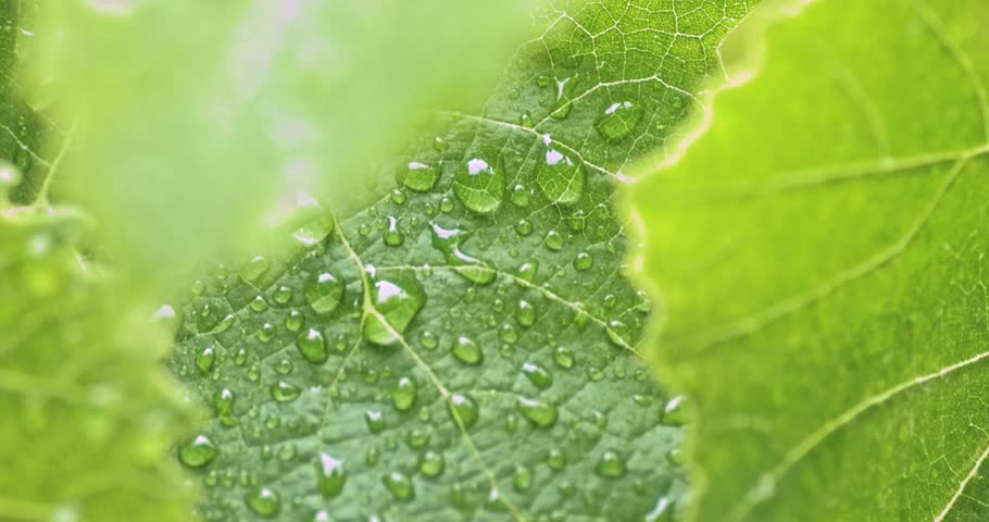 Drops of water on fresh green leaf in orchard macro 4k footage #1015107964
