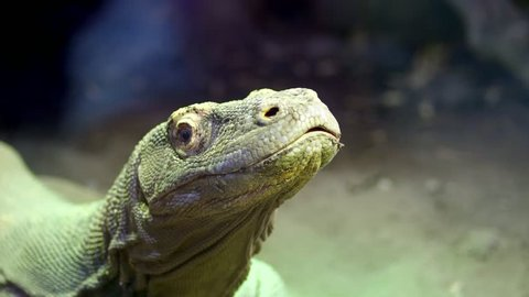 Komodo Dragon. close-up, a lizard from the island of Komodo, a large lizard, put out the tongue