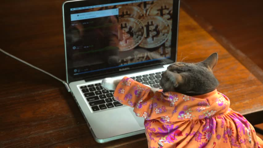 This slow motion video shows a back view of a cute cat in a colorful dress typing frantically on a laptop computer with bitcoin on the computer background.