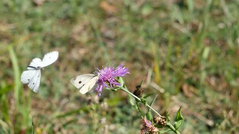 Butterflies of a cabbage white butterfly try to copulate on a flower.