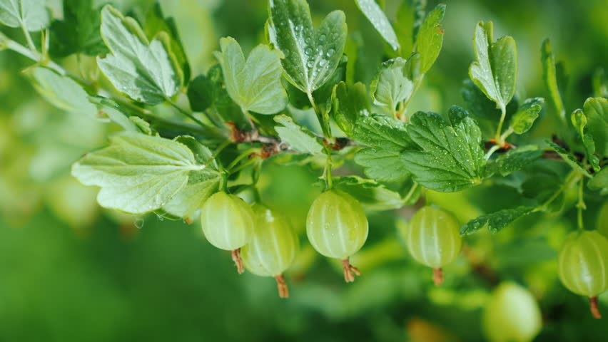 Green branch with gooseberry berries