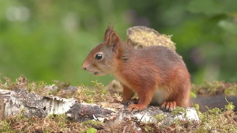 red squirrel animal feed on ground distant lift head standing side view