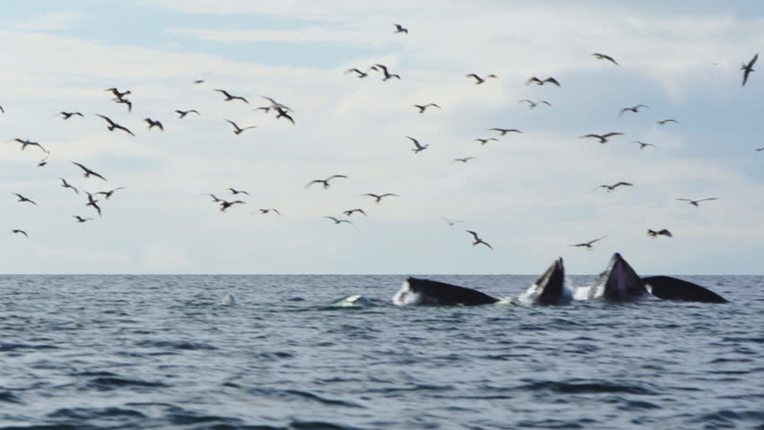 A Pod of whales using bubblenet feeding technique burst from the ocean as they feed on herring. Herring Gulls join in the feeding frenzy.Humpback whale (Megaptera novaeangliae) is a species of baleen