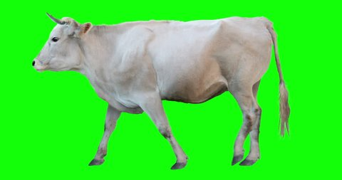 White bull walking on a transparent background. Cyclic animation. Green Screen. Can also use as a silhouette.