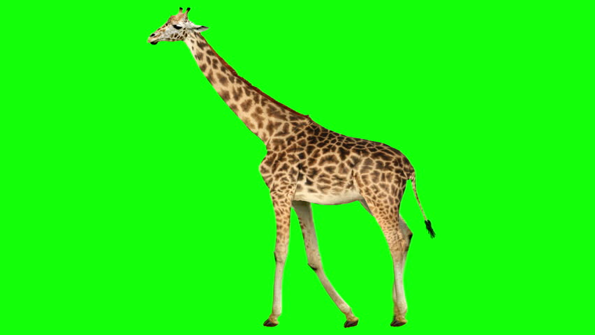 Isolated giraffe cyclical walking. Can be used as a silhouette. Green Screen.