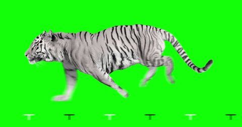 White tiger runs. Isolated and cyclic animation. Green Screen.