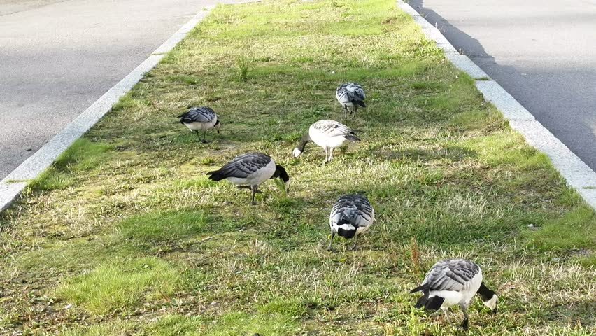 Trusting geese. These barnacle goose (Branta leucopsis) feed in the city right on the lawn