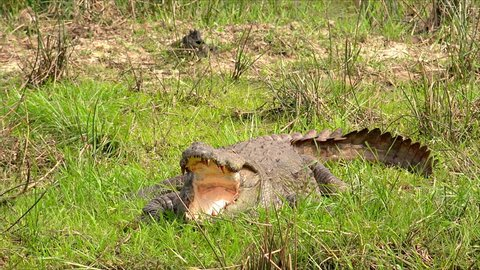 Mugger or Indian crocodile lying with open mouth on bank of shallow pond. Gorgeous wild predatory reptile resting near water. Carnivorous animal in wild nature. Zoom out. Yala National Park, Sri Lanka