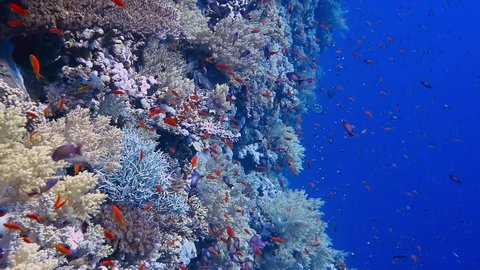 Tropical reef in deep blue water. Corals, swimming red fish - anthias - in the sea. Scuba diving with marine wildlife.