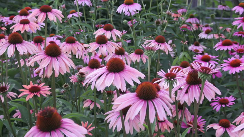 Lavender pink, daisy-like coneflowers or Echinacea Purpurea with spiky green cone brightened with orange tips