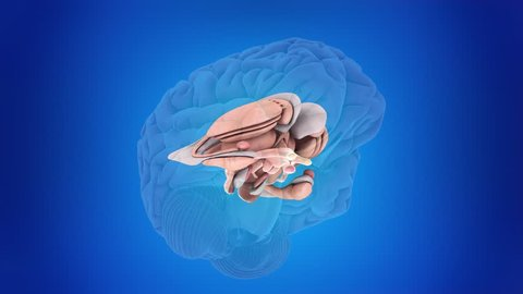 3d rendered medically accurate animation of the inner brain anatomy
