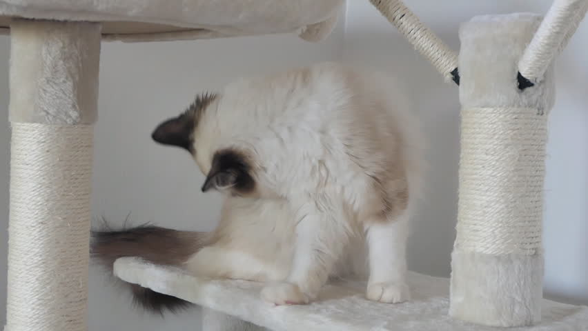 A Ragdoll kitten grooming itself and playing on a cat tree.