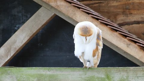 Barn owl (Tyto alba) perched on a fence