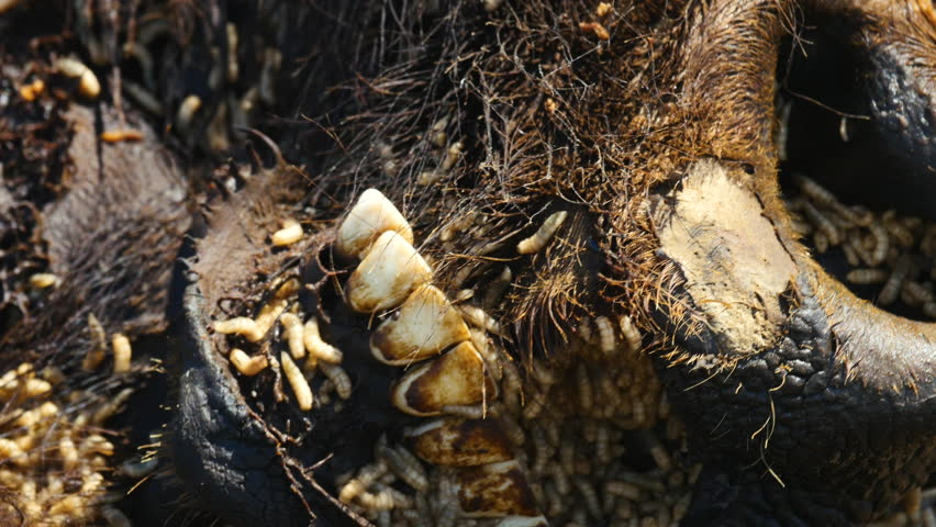 Close on maggots crawling around dead bison's mouth and nose