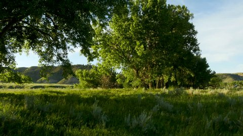 Cottonwood trees in evening light and breeze next to river cliffs in badlands summer