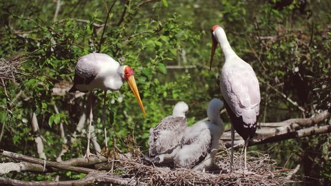 the yellow-billed stork with the young baby 50fps