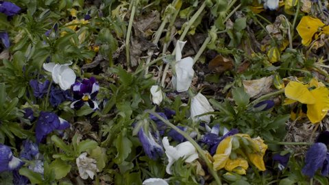 Almost dead pansies in very bad conditions being blown by the breeze.