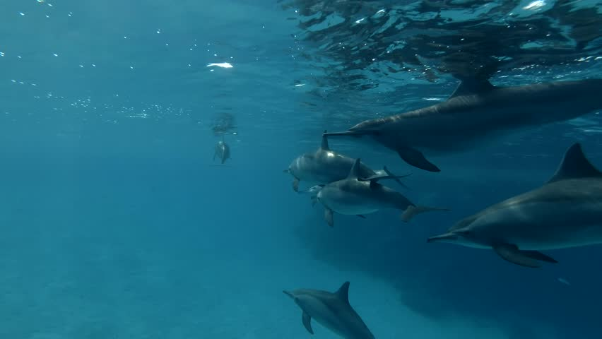 Group of Dolphins swims in the blue water under surface (Spinner Dolphin, Stenella longirostris) Close-up, Underwater shot, 4K / 60fps