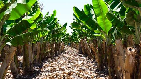 Banana plantation. Banana Farm. Young banana plants in rural farm. Banana tree grove on island with the road cut down