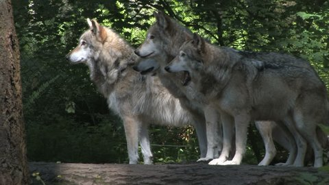Gray wolves interacting in a pack.