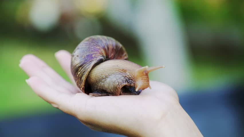 Close-up of snail Achatina fulica on the palm of a man. Domestic shellfish with healing mucus.