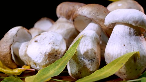 Rotate a bunch of Bolete mushroom. Edible mushrooms. Cep. Porcini Mushrooms