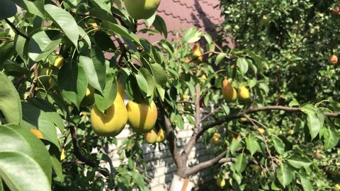 Ripe eco pear on the tree. Closeup footage of yellow and pink pears in the garden.