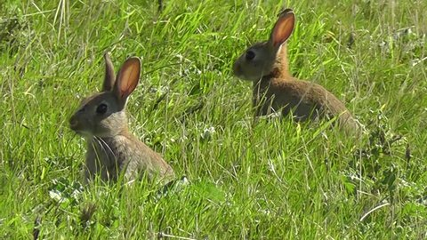 Common rabbits looking up while chewing grass
