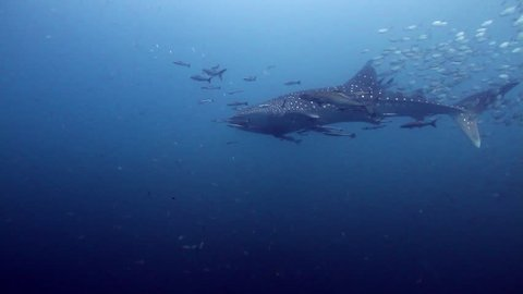 Young Whaleshark passing by